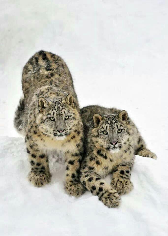 Snow Leapords | félins | Pinterest | Leopardo de nieve, Animales y ...