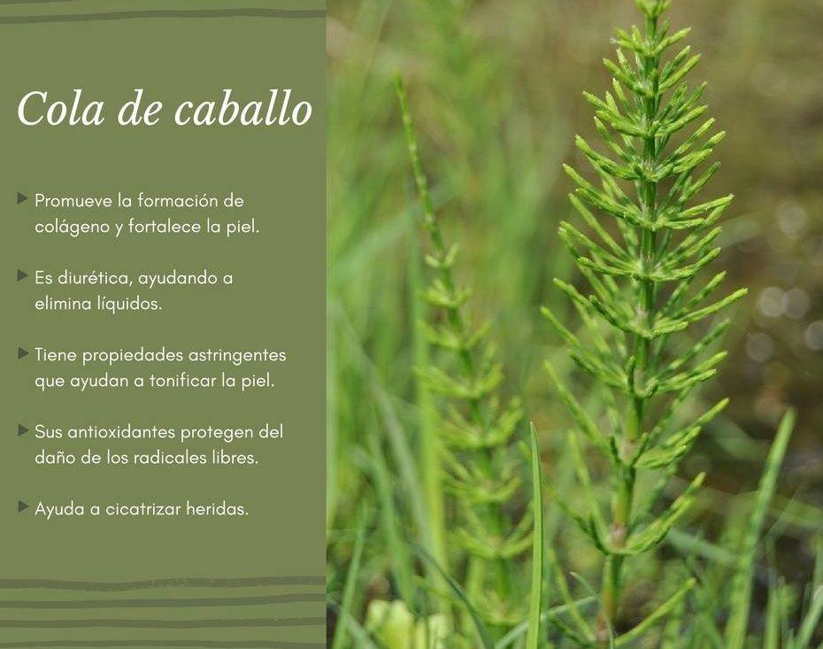 Propiedades De La Planta Cola De Caballo Aromatic Plant Herbs Moringa