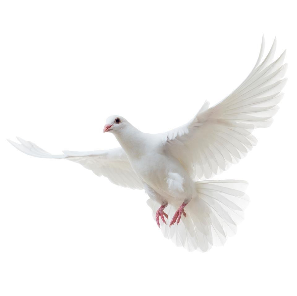 Pin By Hannah Karena On Children Of Eden White Doves Artwork Painting Bird