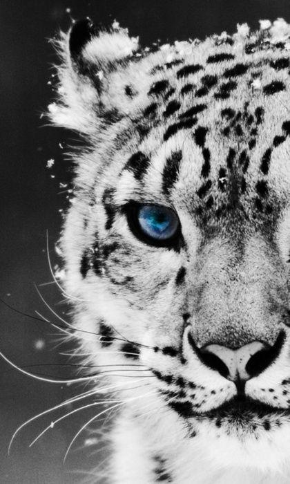 Snow Leopard.  Beautiful blue eyes