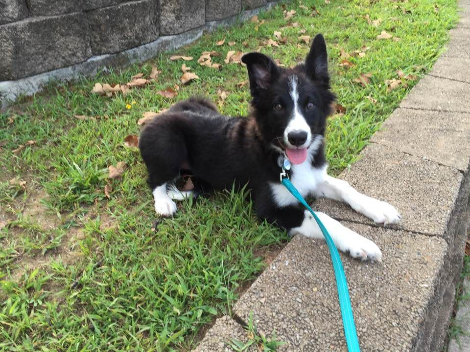 This Is Skye At 16 Weeks Old Our Sweet Border Collie Border Collie Puppies Collie Puppies Border Collie