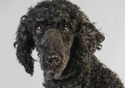 Meet Kaysha An Adoptable Standard Poodle Looking For A Forever