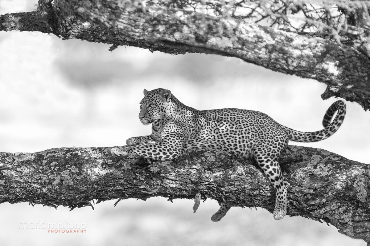 A beautiful looking Leopard resting on a branch along the Mbalageti river in Central Serengeti scans the area around him. This image was captured while hosting a private photographic safari with www.southcapeimages.com