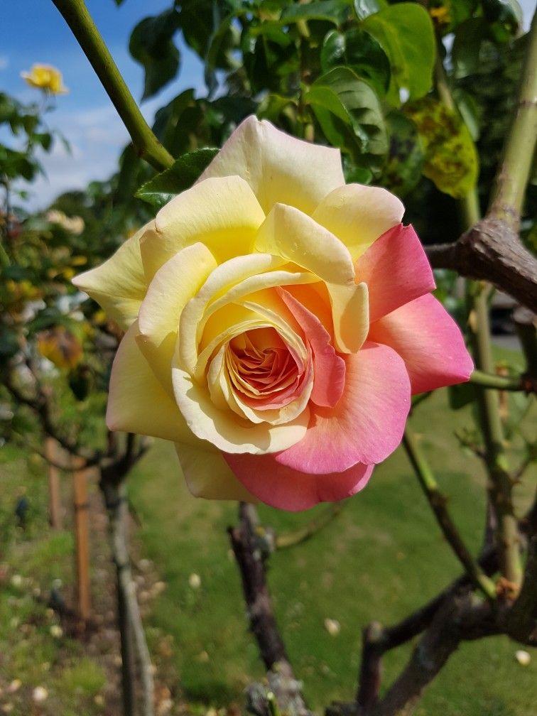 Pin by Deborah Henderson on Nature Flowers, Plants, Rose