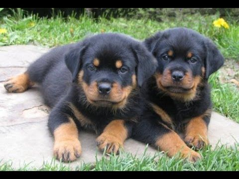 Rottweiler Puppies For Sale In Colorado Springs Colorado Co