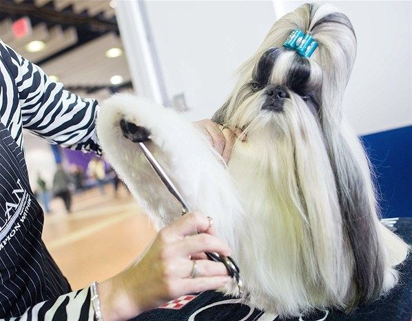 Jasper A Two Year Old Shih Tzu Is Groomed C Reuters Keith