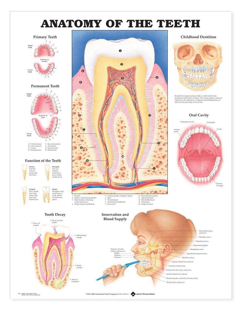 Anatomy of the teeth gross introduction - www.anatomynote.com ...