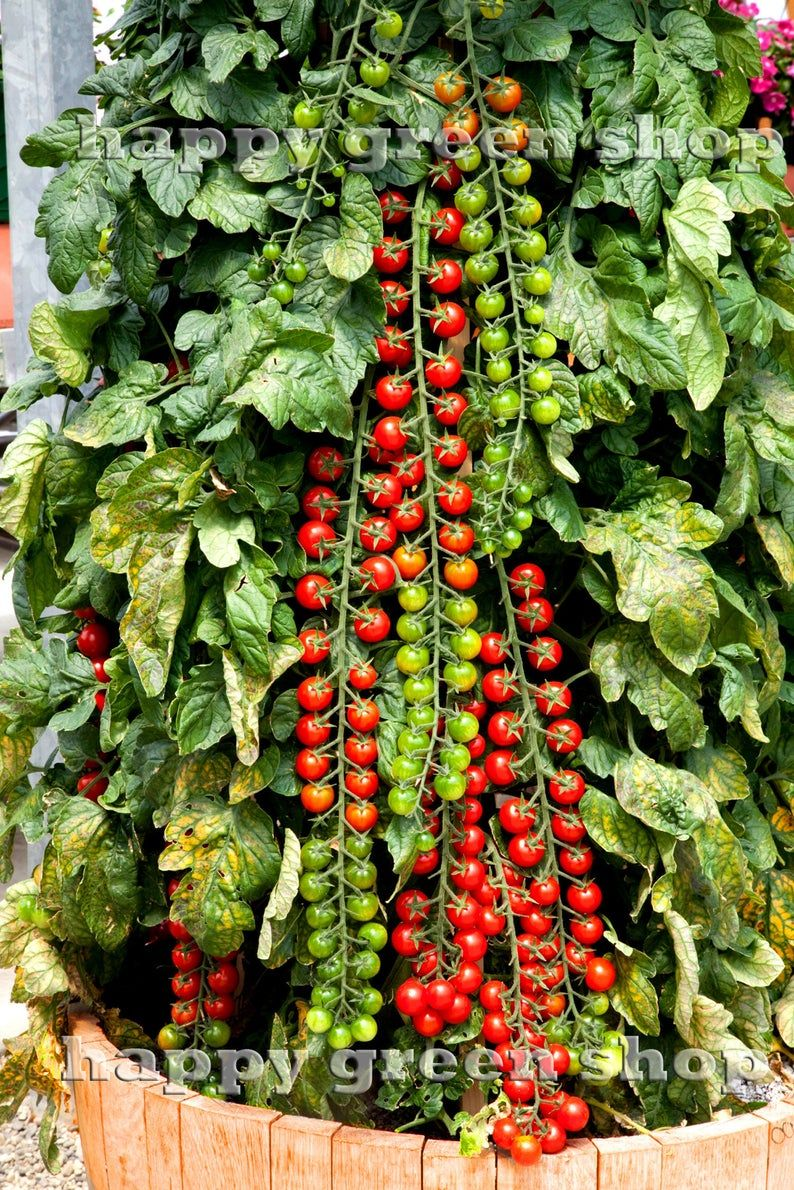 Growing Tomatoes In Pots In 2020 Cherry Tomato Plant Tomato Garden Growing Tomatoes