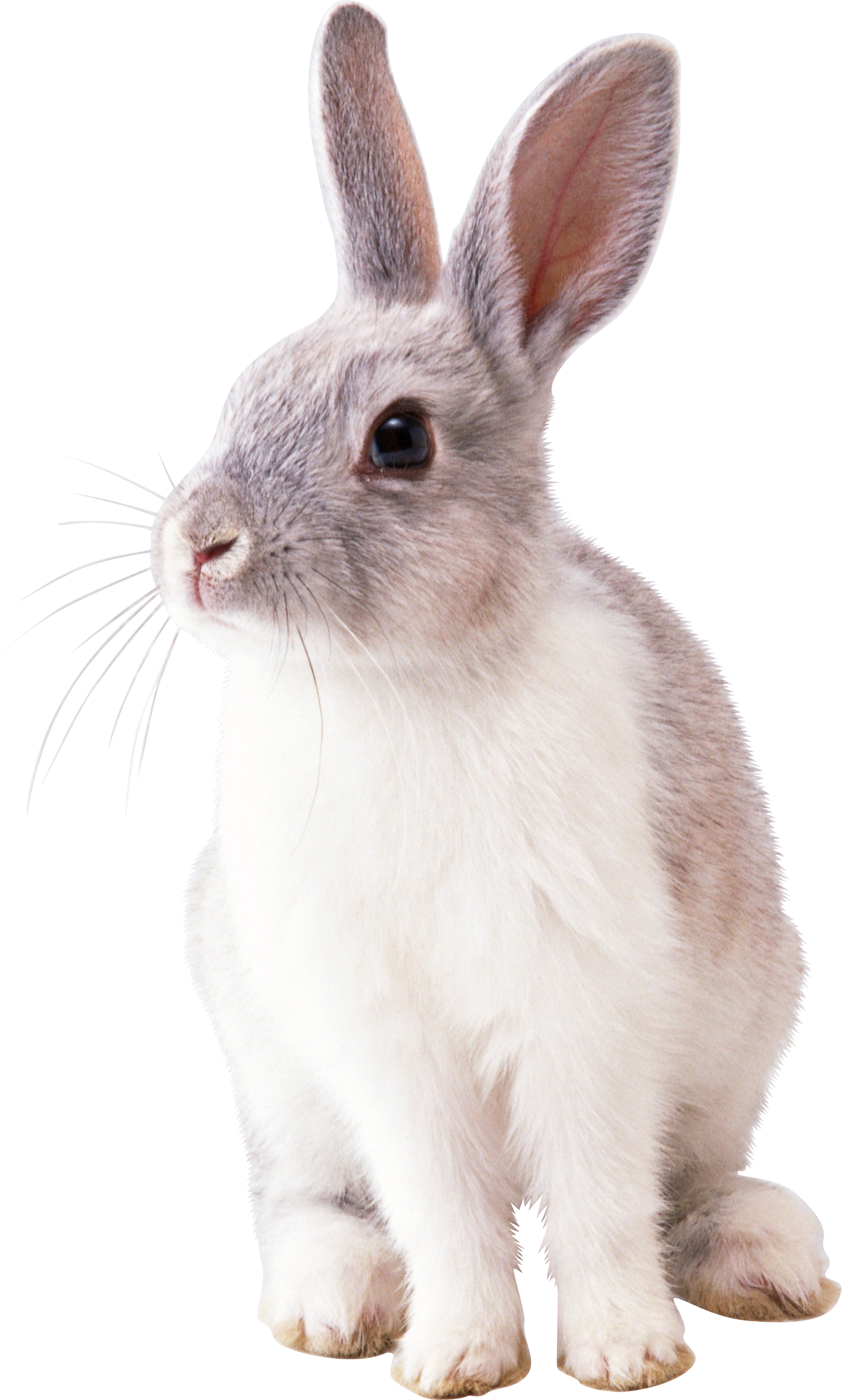 Pin By Transparent Png Images On Animal Png Rabbit Pictures Rabbit Png Free Rabbits