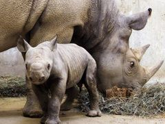 Africa's western black rhino (AP), extinct!
