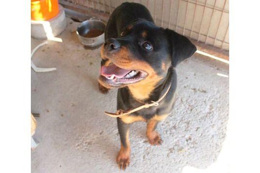 Mimi, Rottweiler, 9 Monate, wartet im Tierheim