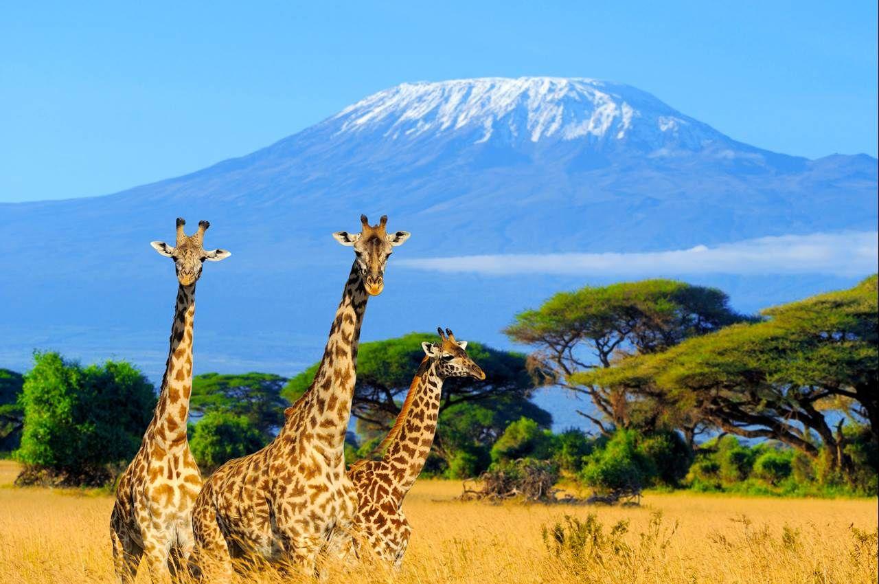 Image result for giraffe in amboseli