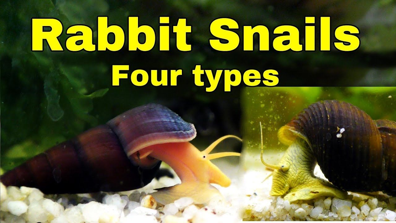 Rabbit Snails My Four Different Types Coolest Snails In The World Cute Baby Bunnies Snails For Sale Rabbit