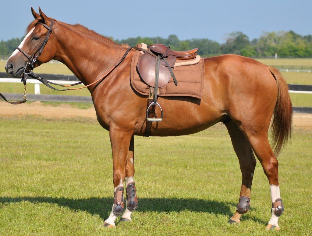 saddle horses - Google Search | Horses | Pinterest ...