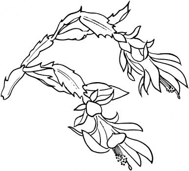 Drawing a succulent Schlumbergera Bloom | Illustration: Cactus ...