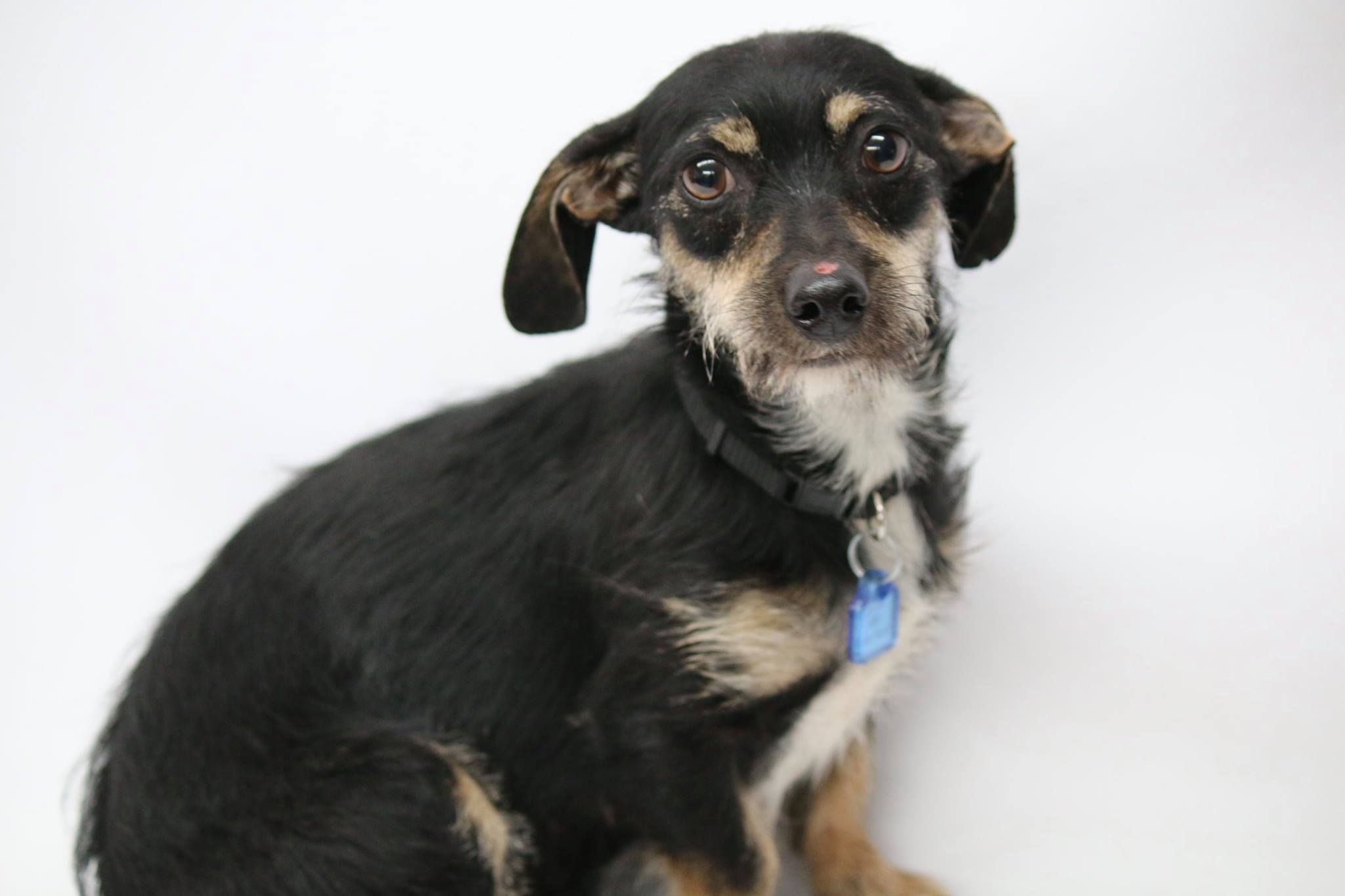 Mutt Dog For Adoption In Phoenix Az Usa Adn 818033 On