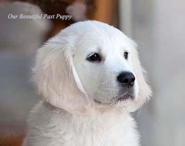 White Golden Retriever Puppies White Golden Retriever Puppy Golden Retriever White Dogs Golden Retriever