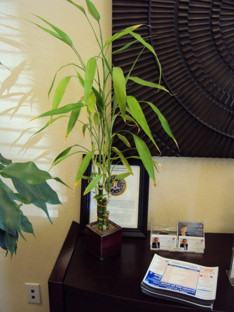 Zimmerbambus Deko Art Zimmerpflanzen Ideen Pflanzen Garten Bambus