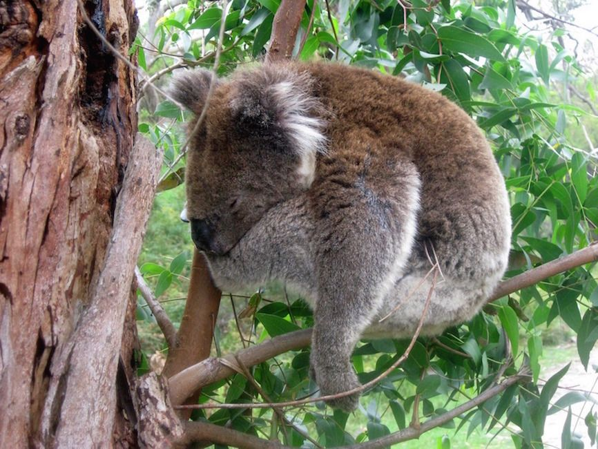 8589130595666-apollo-bay-sleeping-koala-wallpaper-hd ...