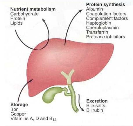 Photo Of Main Functions Of The Liver Excretion Of Waste Storage Of