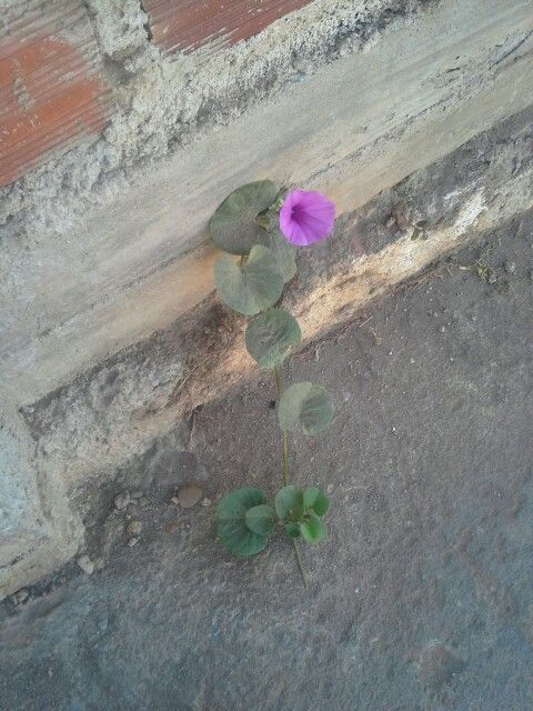#BomDia! Nos locais mais improváveis, onde você acha que não há vida,  eis que aparece uma flor.   #Flor #FlorDoSertão #Sertão  #Nordeste  #SãoJoãoDoPiauí