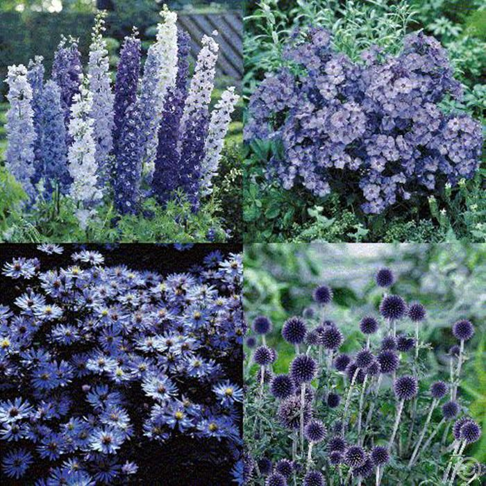blauer sommergarten 12 pflanzen g nstig online kaufen bestellen sie schnell und bequem online. Black Bedroom Furniture Sets. Home Design Ideas
