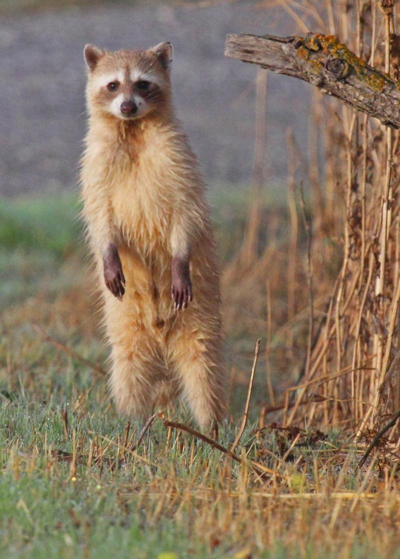 Cinnamon Raccoon - Sacramento Wildlife Refuge - Willows, CA - Sue ...