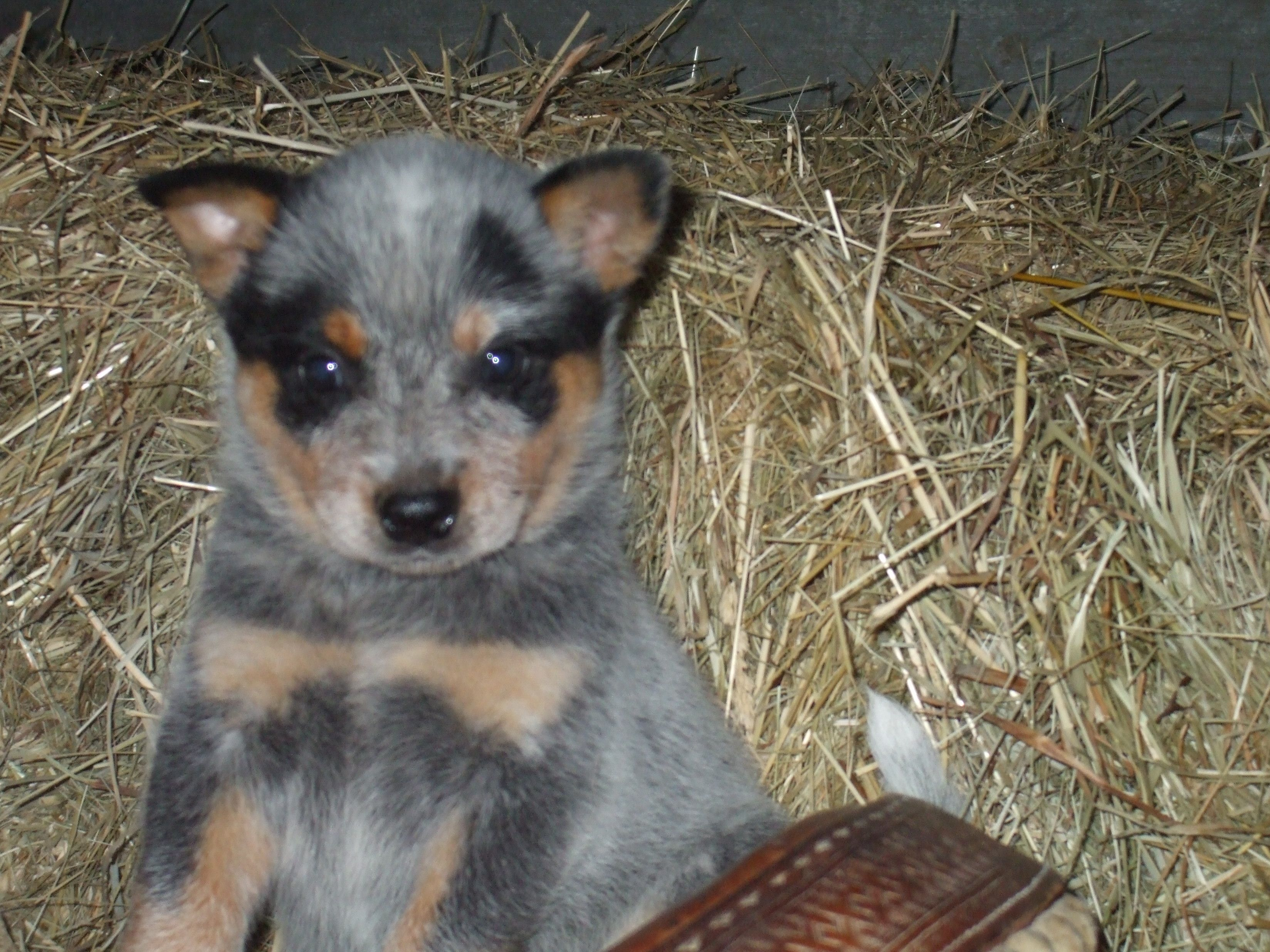 Blue Heeler Puppy One Of Gods Blessings For Us Vw Dogs