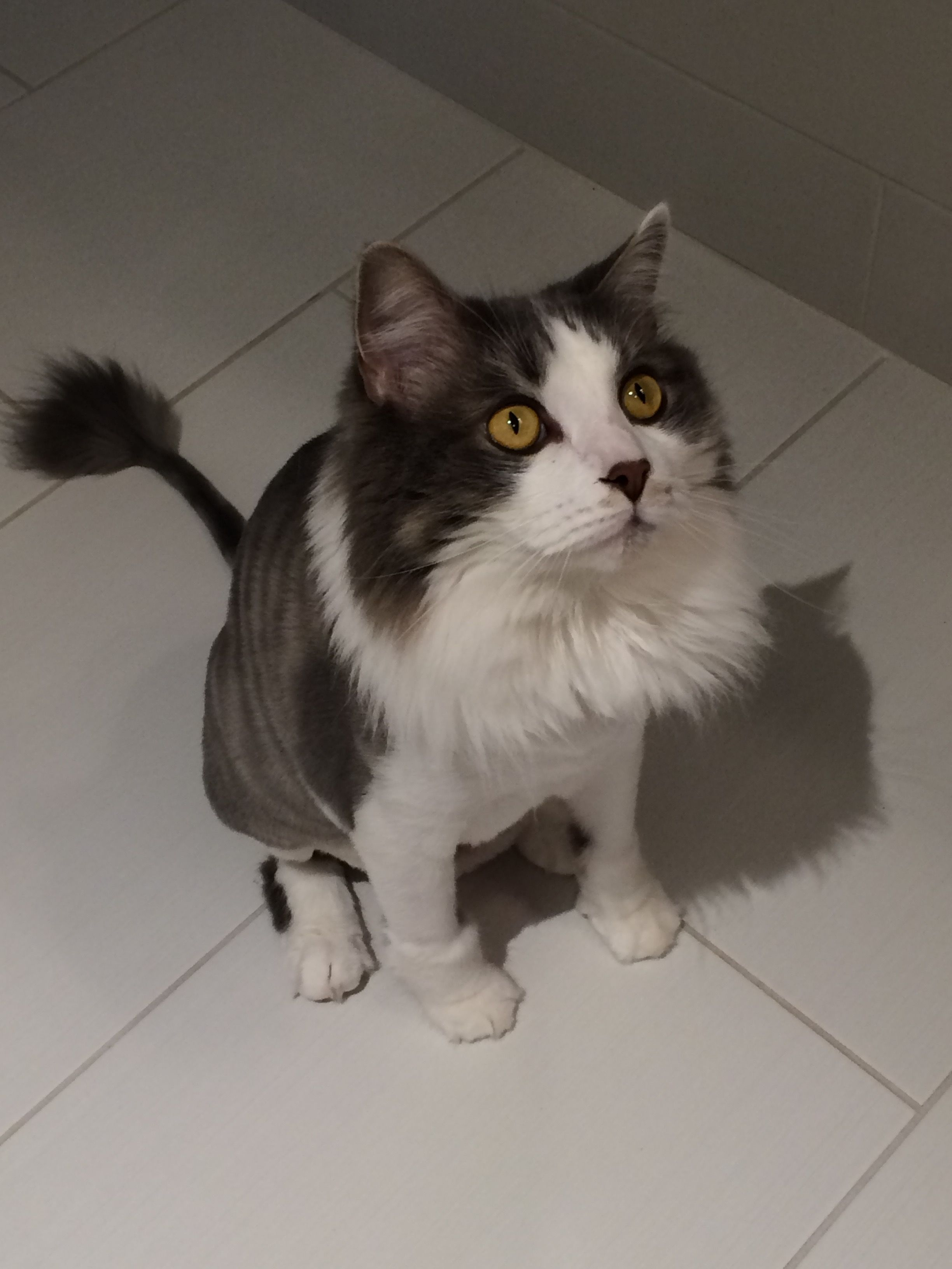 Sterlings Cute Cat Haircut Lions Cut Adorable Animals