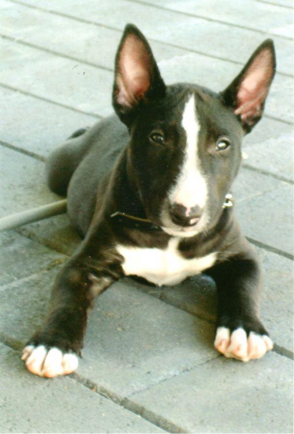 Black Brindle Babe Bull Terrier Brindle Bull Terrier Mini Bull Terriers