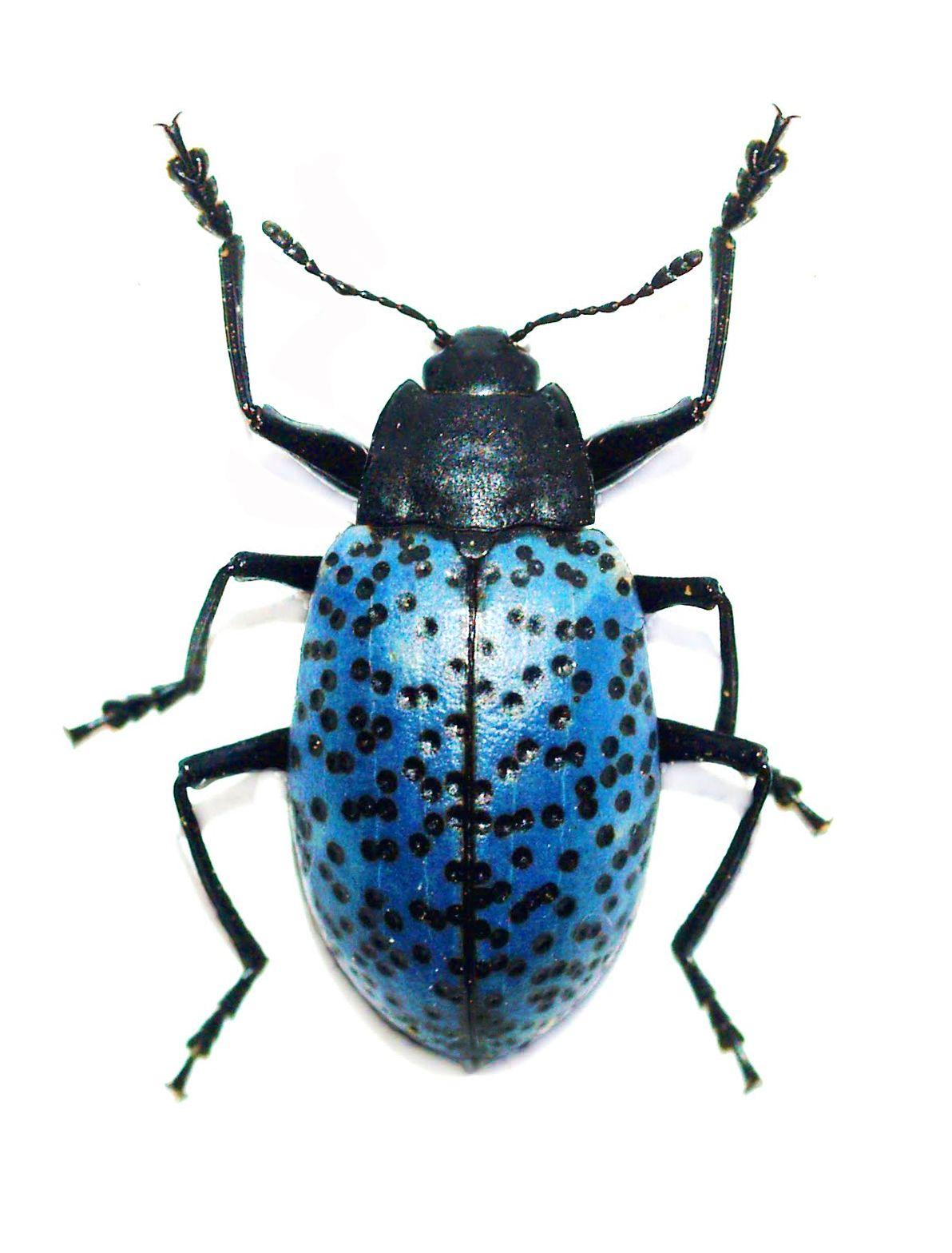 What ate my Smart Wool shirt larval carpet beetles How