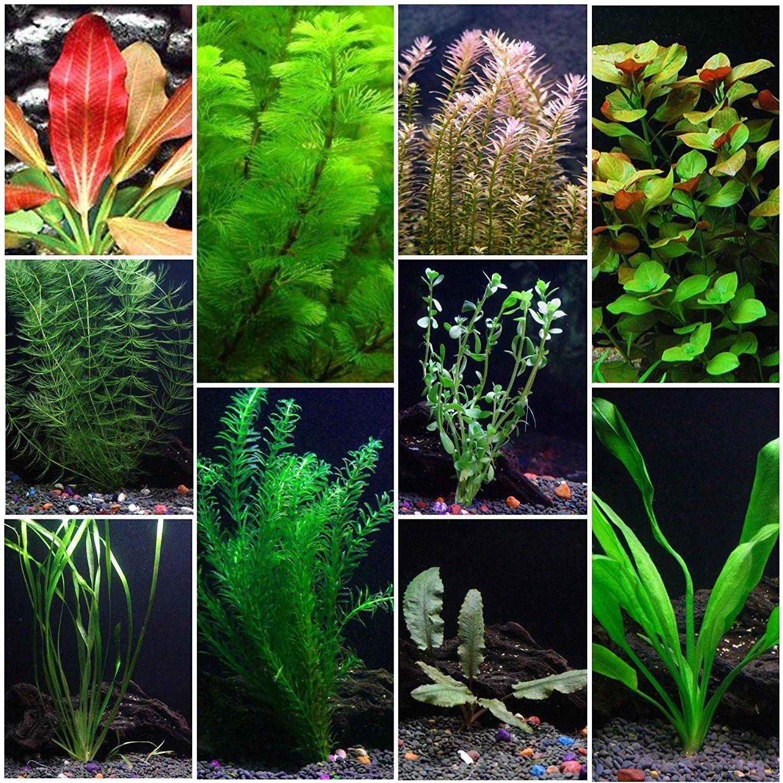 10 Species Aquarium Plant Bundle Easy Freshwater Plants Freshwater Plants Freshwater Aquarium Plants Fish Tank Plants