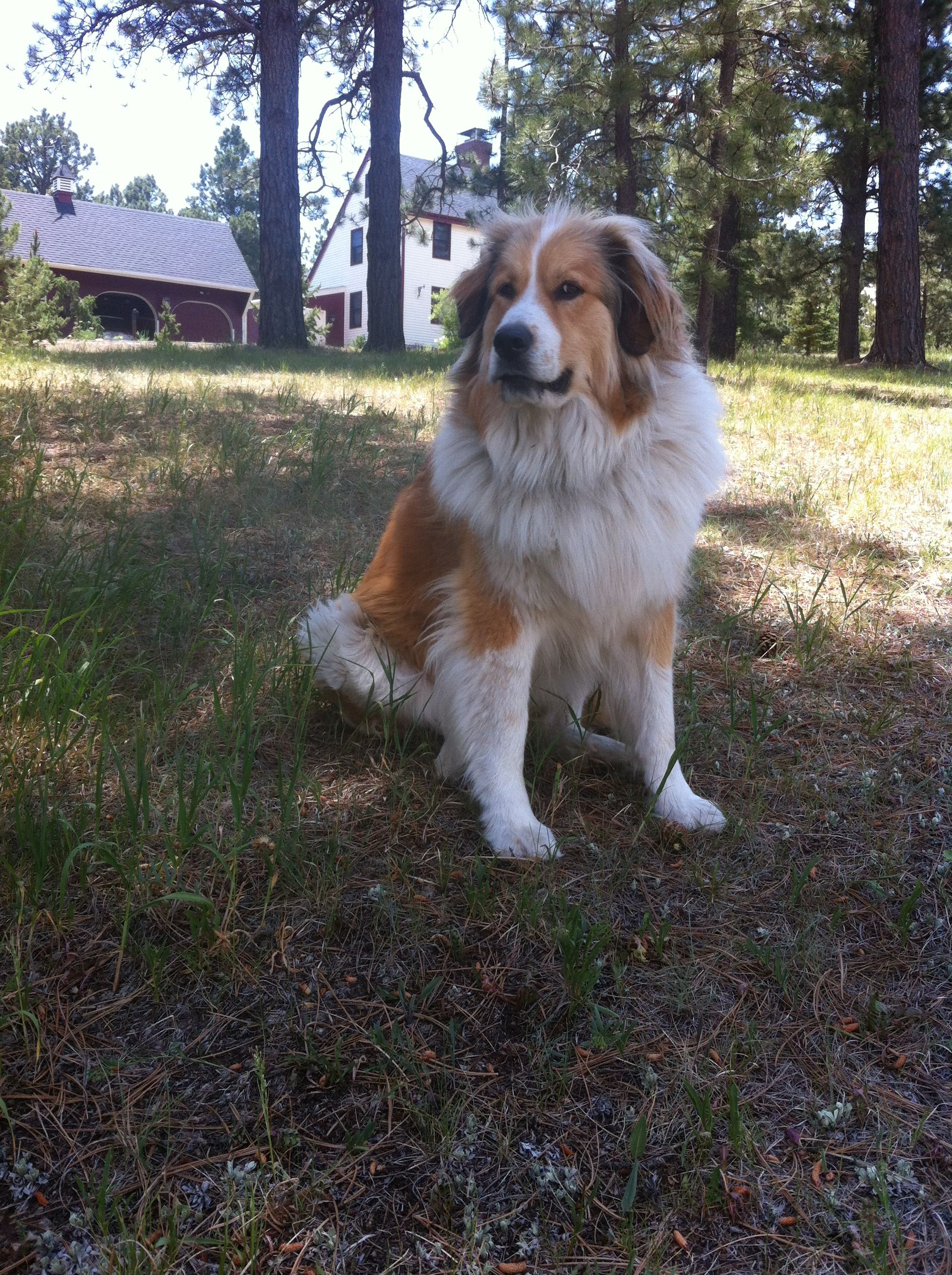 Our Beautiful Ruby Great Pyrenees Bernese Mountain Dog Mix With