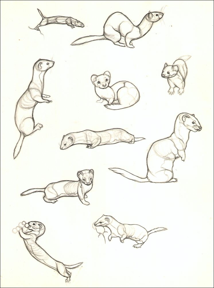 Ive Been Practicing Drawing Weasels A Lot Lately Because It