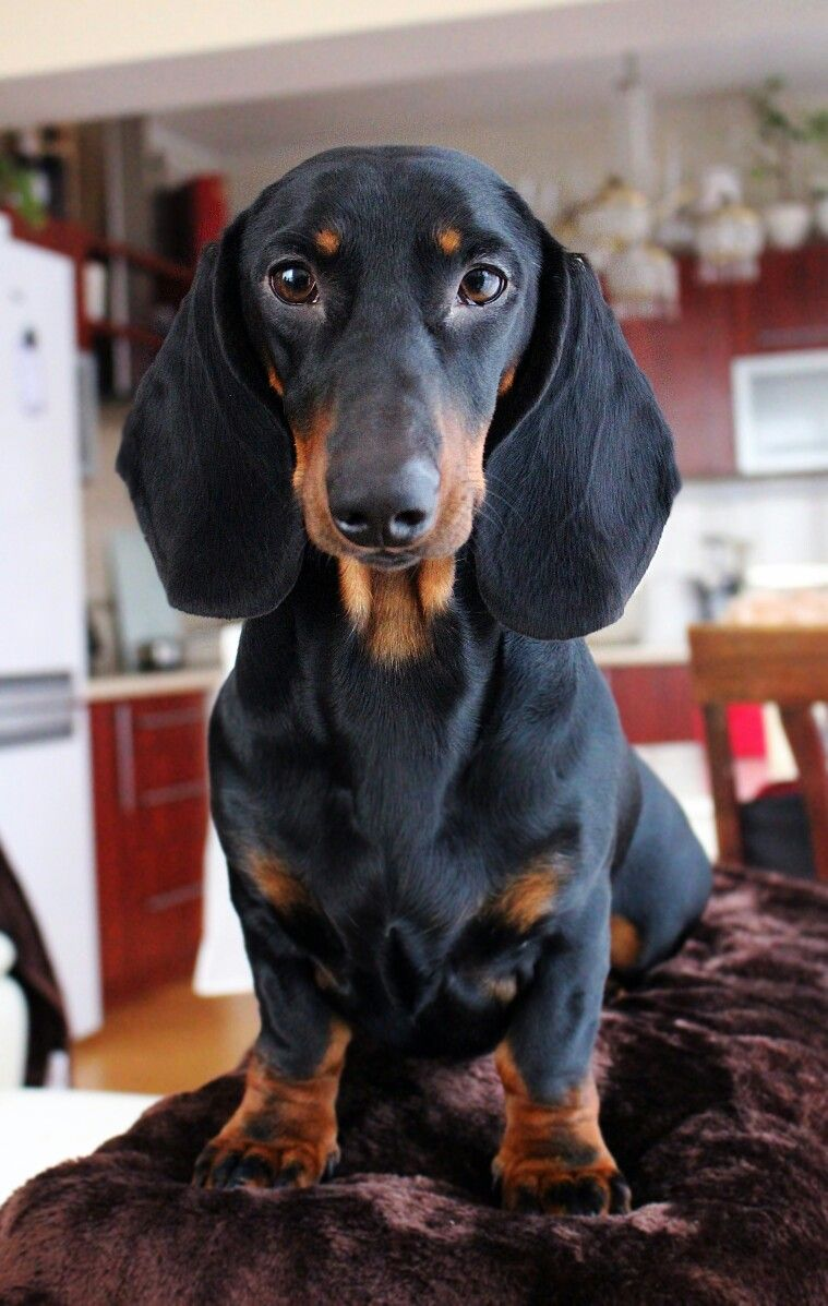 Samson Dachshund Black And Tan Dachshund Dog Dachshund Lovers