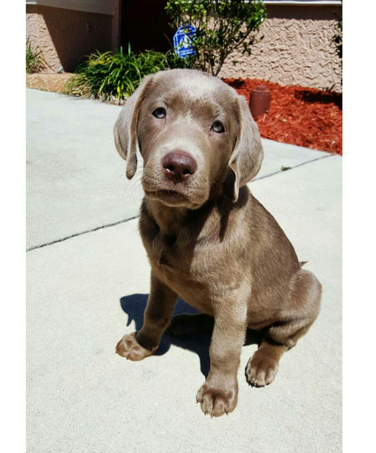 My Silver Lab Rayne 9 Weeks Baby Puppies Cute Animals Charcoal Labrador