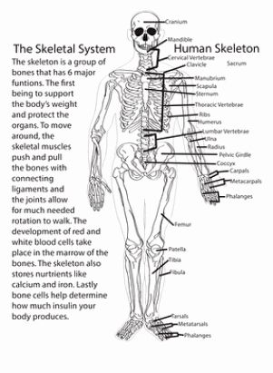 50 Skeletal System Worksheet Pdf in 2020   Skeletal system ...