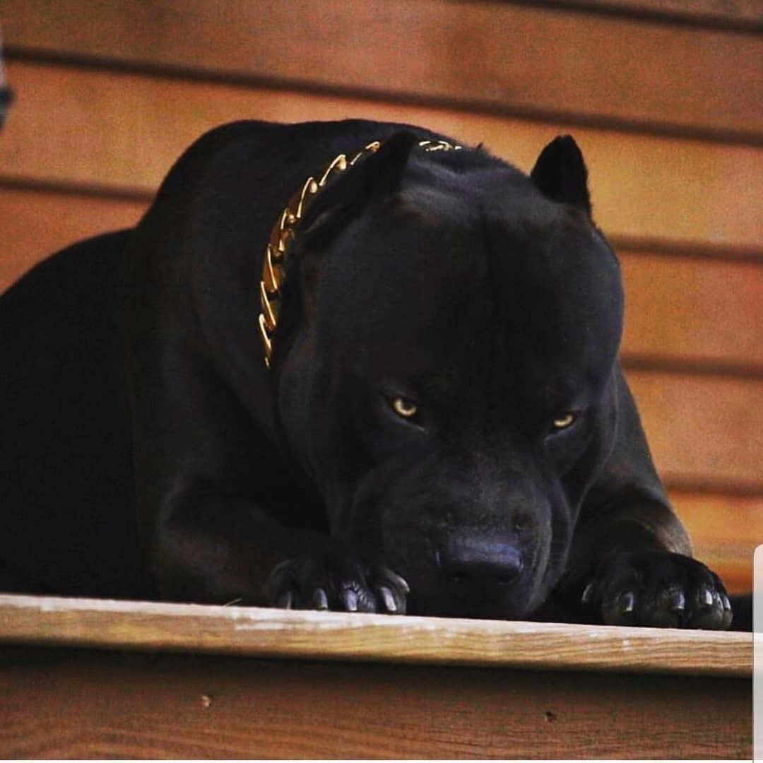 American Bully Feature On Instagram Prague The Black Panther Himself Xxldesignerpitbulls Bully Breeds Dogs Pitbull Terrier Dogs