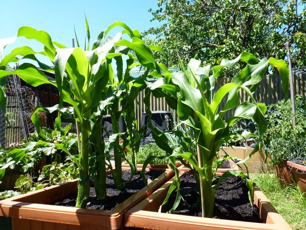 Start To Grow: Top 10 Tips for Growing Sweet Corn | Garden ...