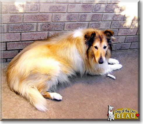 Read Beau S Story The Rough Collie From Australia And See His Photos At Dog Of The Day Http Dogoftheday Com Archive 2010 September 1 Collie Rough Collie Dogs