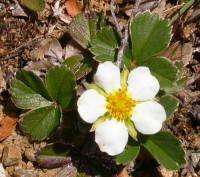Fragaria chiloensis - FRUTILLA SILVESTRE