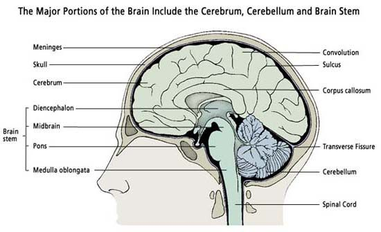 The major portions of the brain include the cerebrum cerebellum and the major portions of the brain include the cerebrum cerebellum and brain stem ccuart Gallery