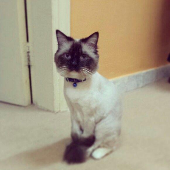 Bobo S New Haircut Ragdoll Siamese Cats Dog Cat New Haircuts
