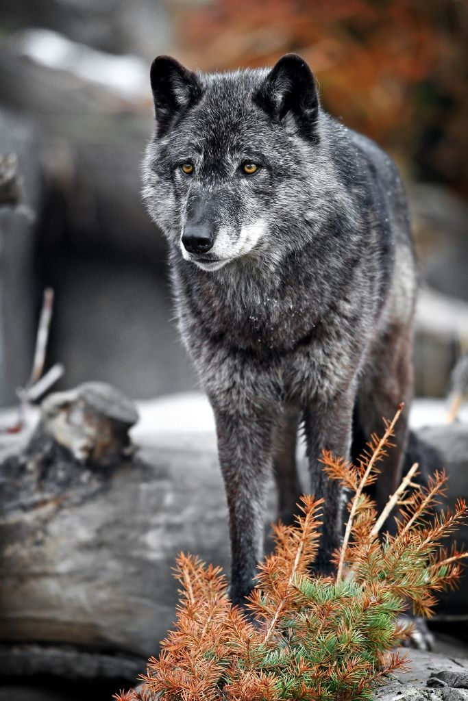Pin By Carolyn Sorensen On Critters Wolf Dog Animals Wolf Love