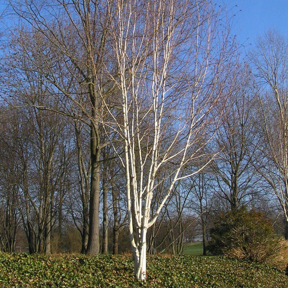 Betula jacquemontii snow queen multi stem white birch for Silver birch trees for small gardens