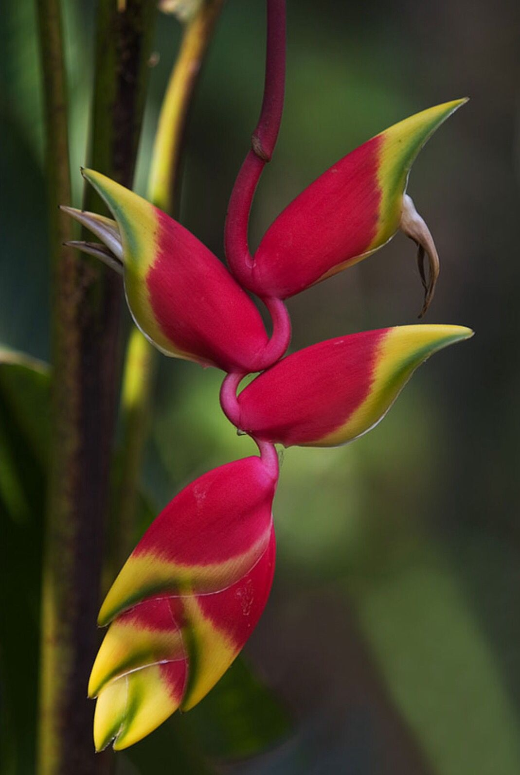 hanging lobster claw ginger | Flowers!!! They make me happy ...