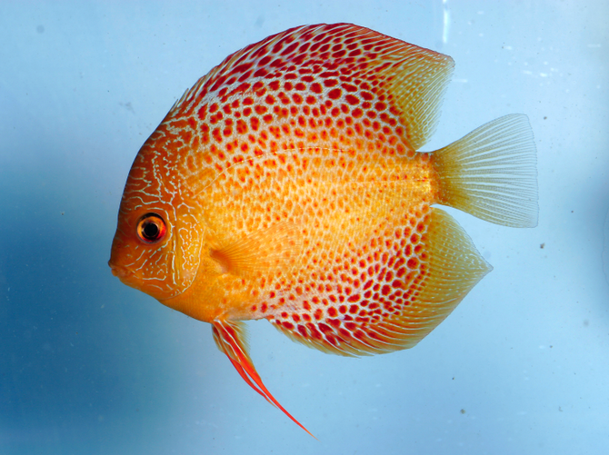 Yellow discus fish baby discus fish pets for sale online for Live discus fish for sale