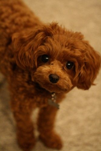 Cavapoo Poo Brags Www K9puppyplanet Com Ruby From Christina