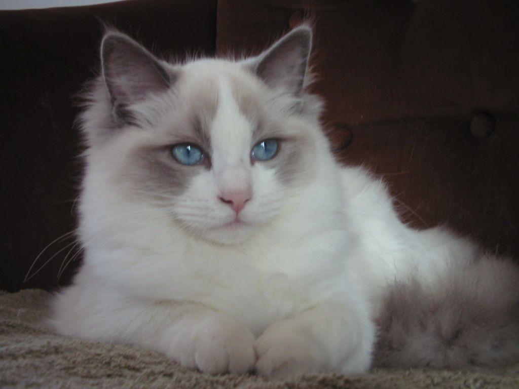 About Ragdolls Mt Cheam Ragdolls Cattery Ragdoll Cat Cats Pets Cats