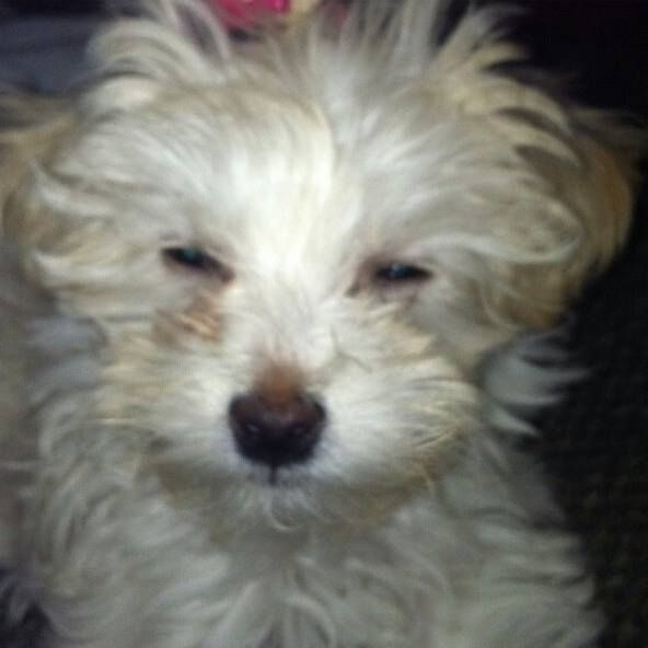 Reunited 6/12 rizzia Fajardo I need help finding my 6 month old puppy. She was last seen at 730 am this morning 6/11/2014 on Elmwood ave norwalk. She's 4-5lbs. If anyone has Info I can be reached at 203-295-9130.